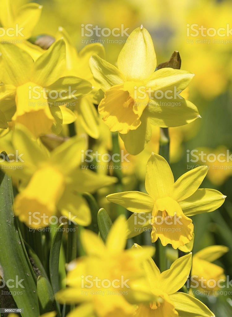 yellow narcissu royalty-free stock photo