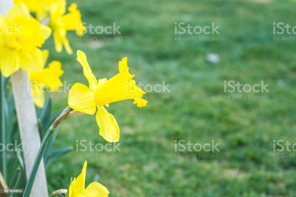 yellow narcissus blooming in the park stock photo