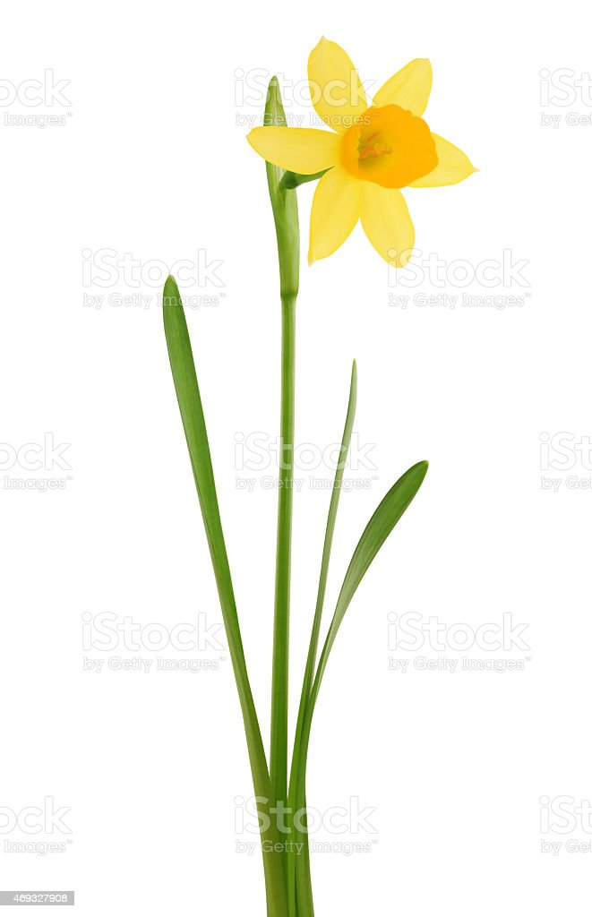 Yellow Narcissus Flower (with path) stock photo