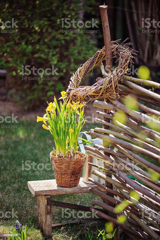 Yellow narcissus in pot, osier wicker fence in spring garden stock photo