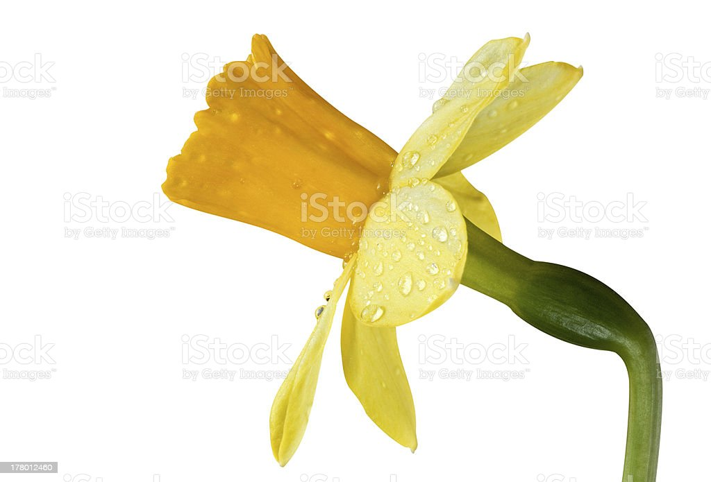 Yellow narcissus royalty-free stock photo