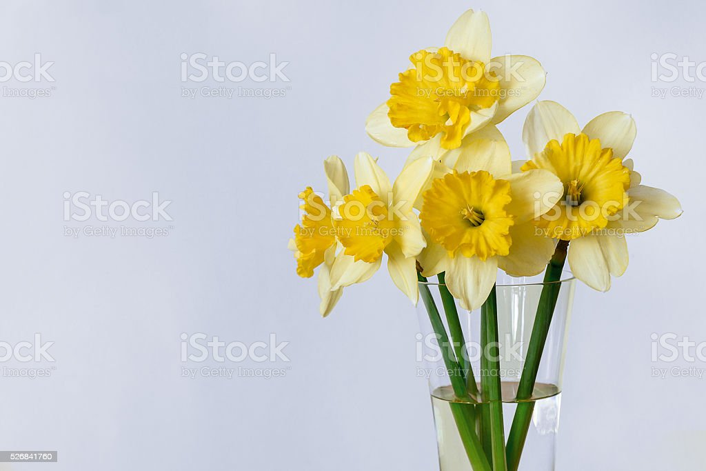 Amarelo Narciso foto de stock royalty-free