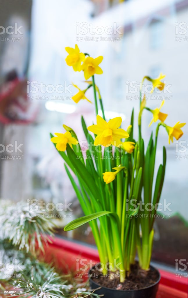 Yellow narcissuses in a pot stand on a window sill stock photo