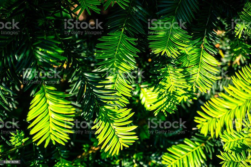 Yellow needles in the sunlight stock photo