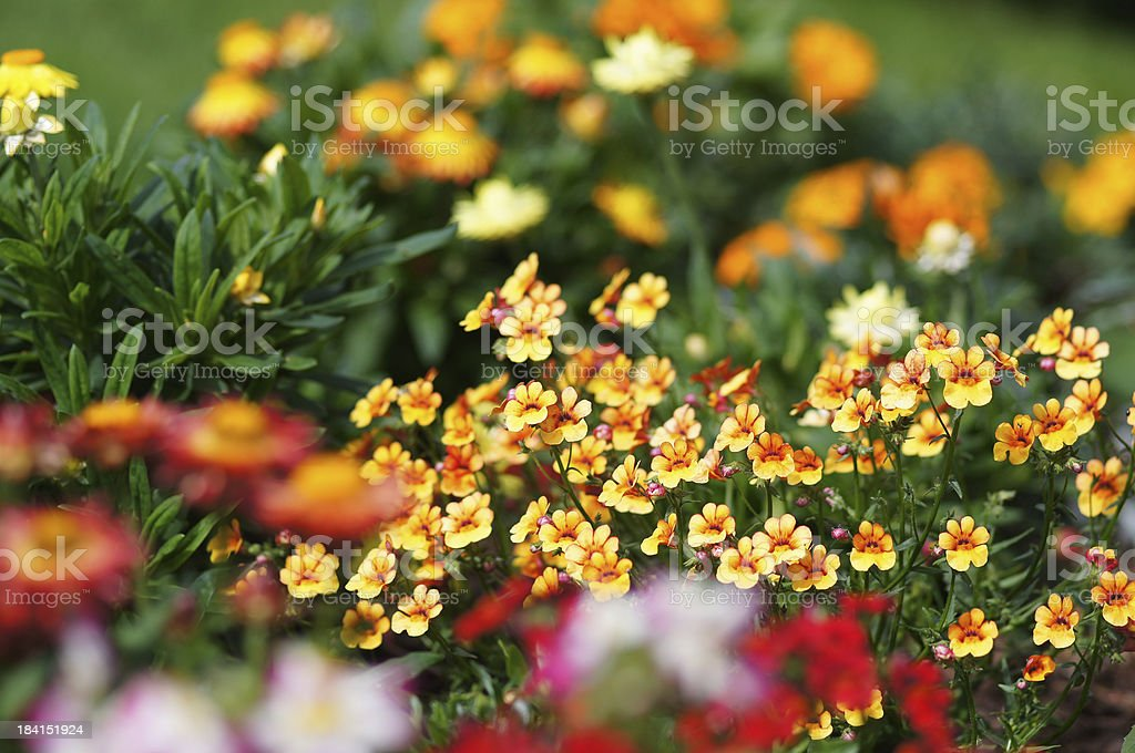 Yellow nemesia fruticans flowers stock photo