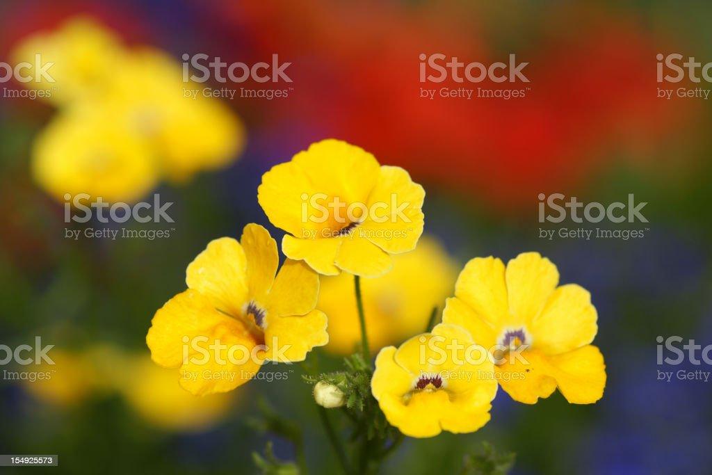 Yellow nemesia fruticans stock photo