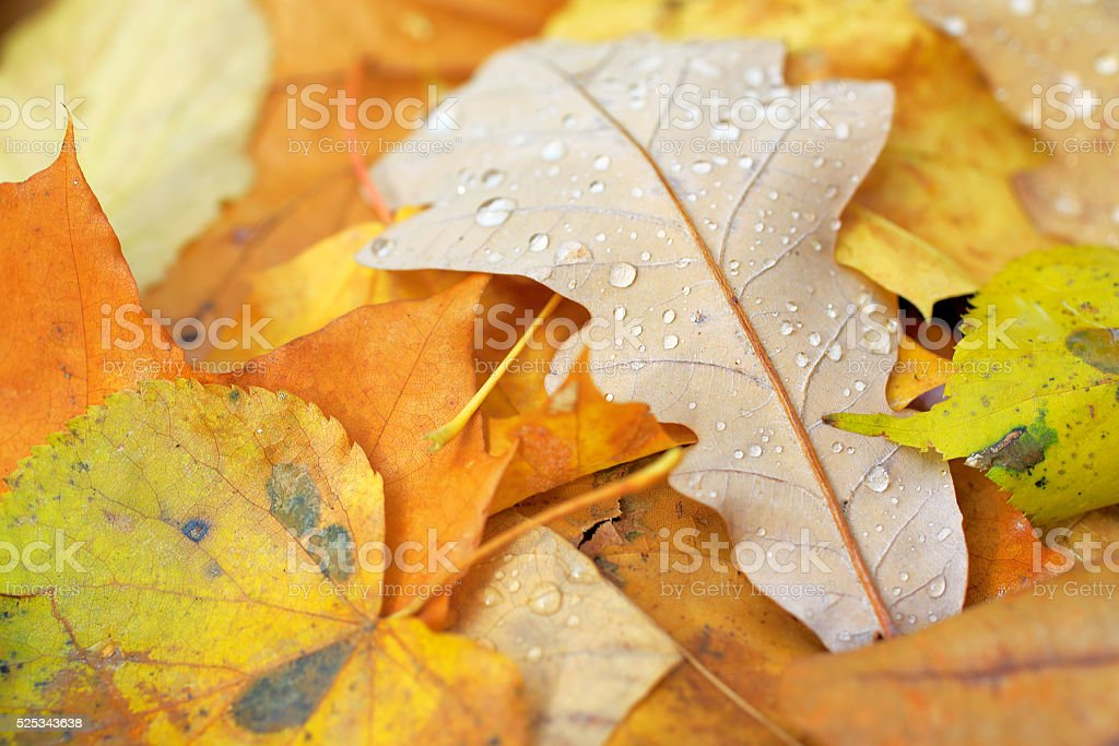 Yellow oak leaves at autumn forest fall natural background stock photo