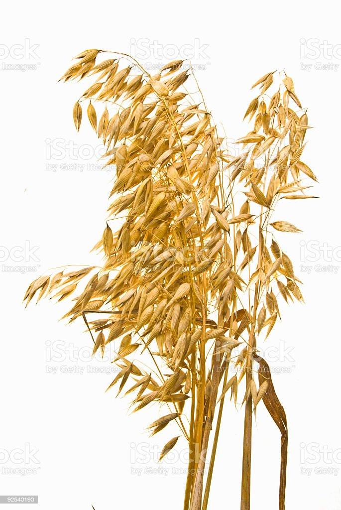 Yellow oats standing on a white background royalty-free stock photo