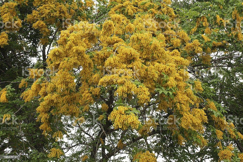 Yellow of Padauk Flower or Papilionoidea stock photo