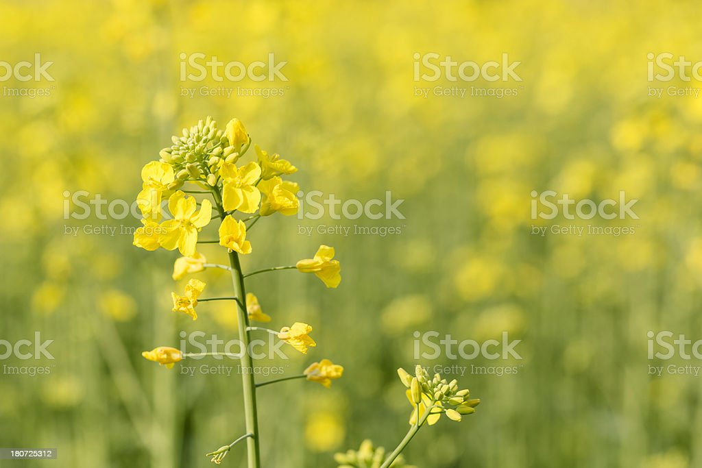 Yellow oilseed field royalty-free stock photo