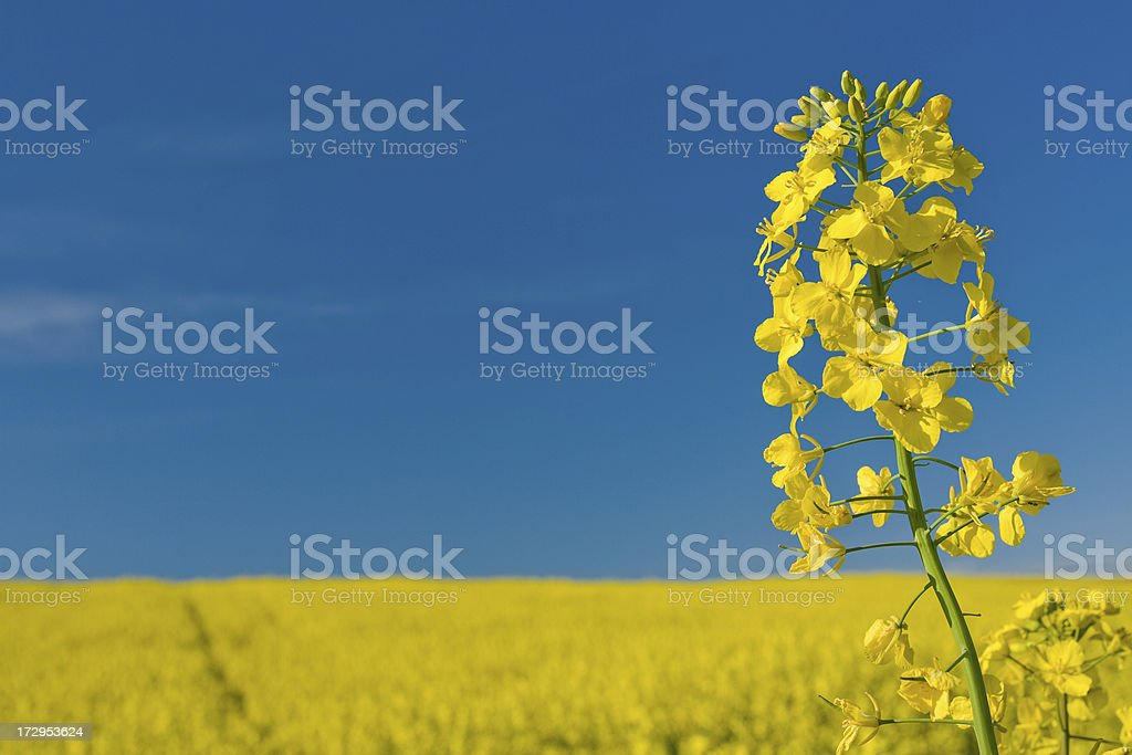 Yellow oilseed rape and the blue sky royalty-free stock photo