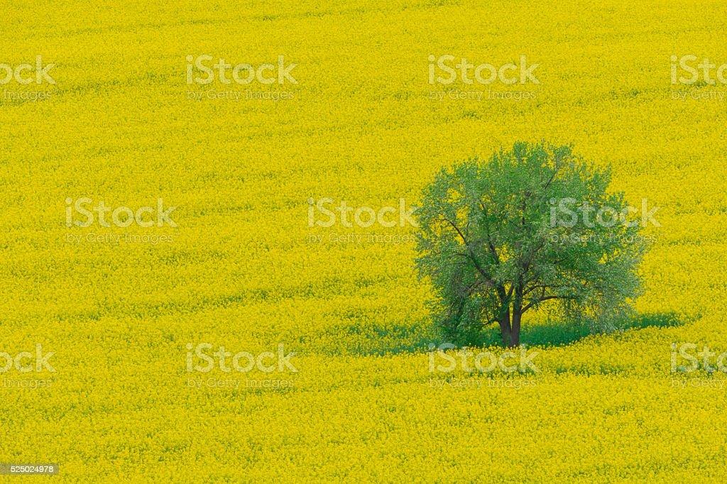 Yellow oilseed rape field stock photo