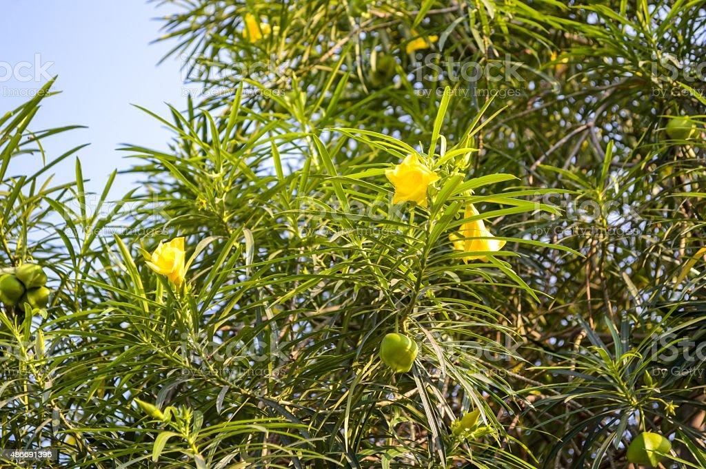 Yellow oleander flower stock photo