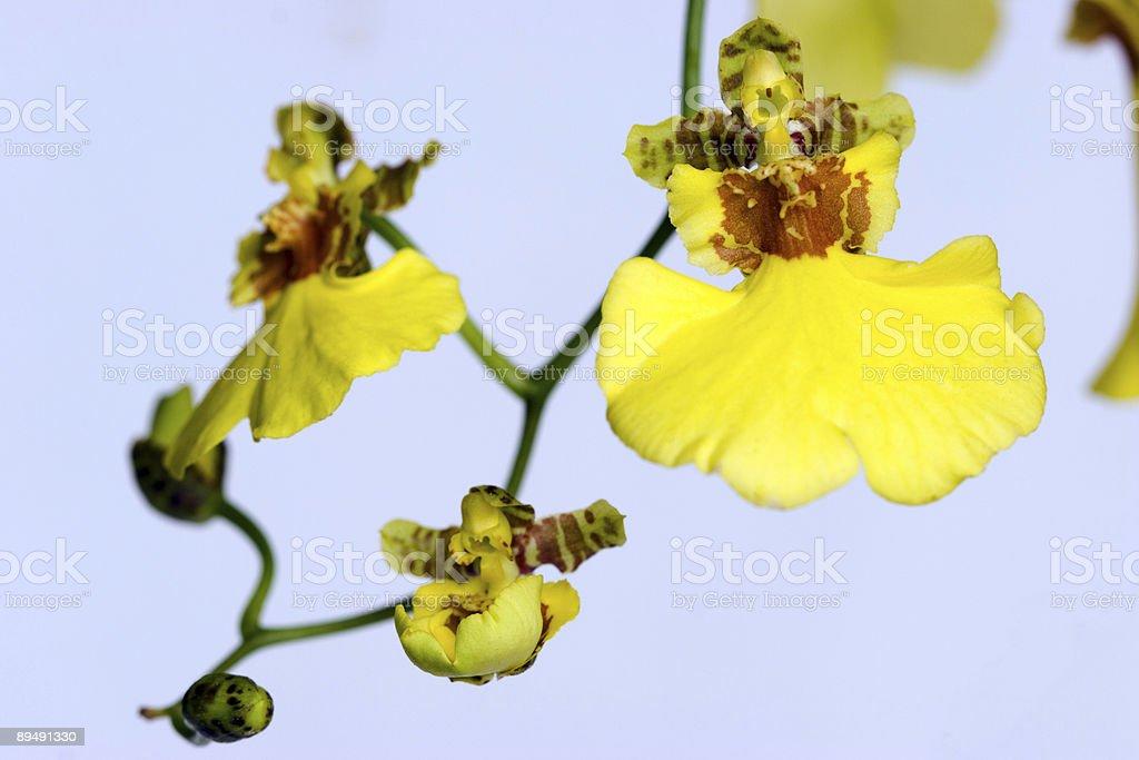 Yellow Oncidium royalty-free stock photo