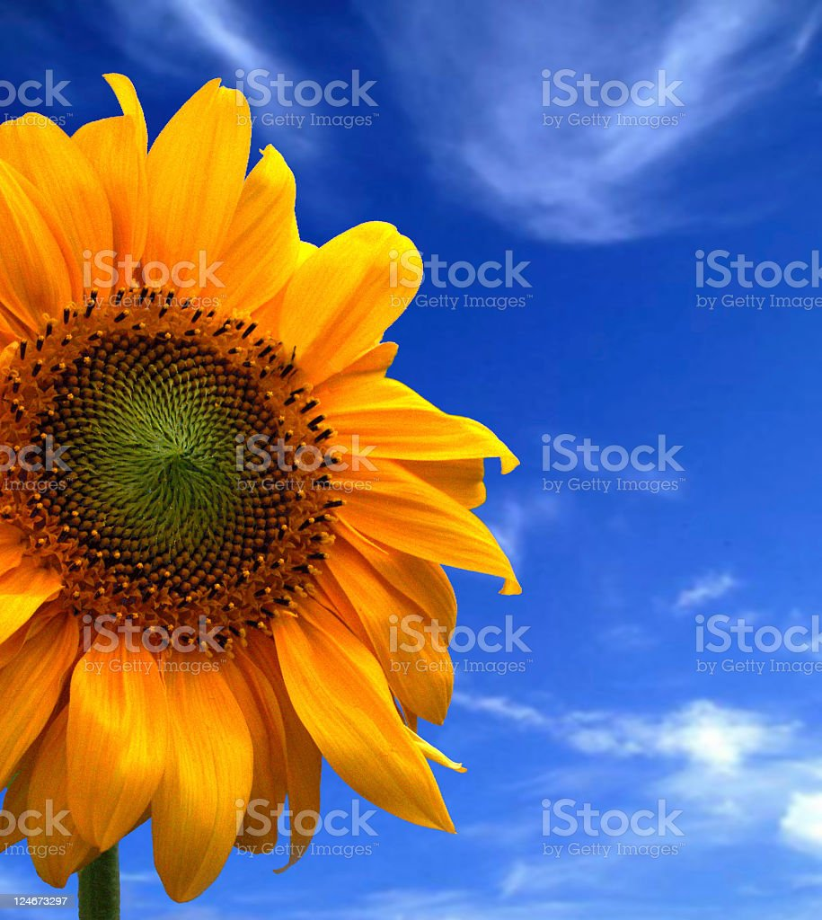 Yellow orange summer sunflower macro on blue slightly cloudy sky royalty-free stock photo
