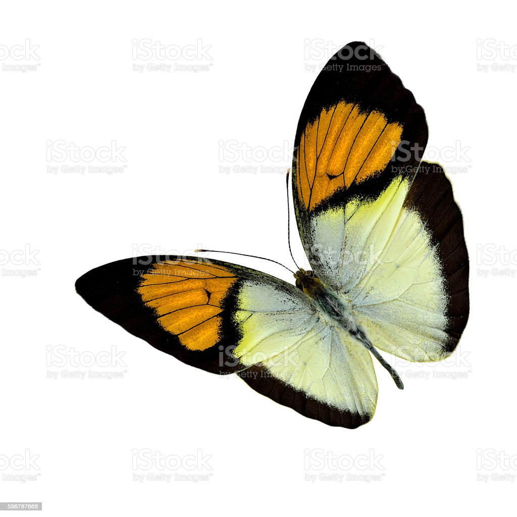 Yellow Orange Tip stock photo