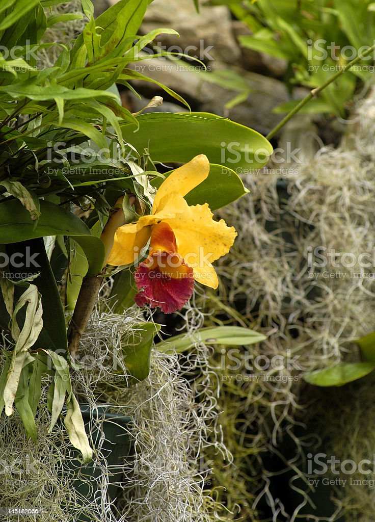 Yellow Orchid and Spanish Moss royalty-free stock photo