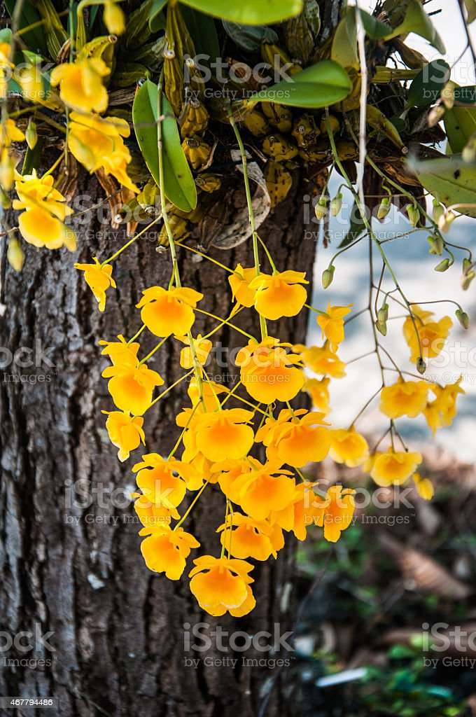 Yellow Orchid, Dendrobium lindleyi on tree stock photo
