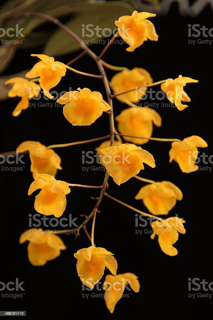 Yellow orchid , Dendrobium lindleyi Steud stock photo