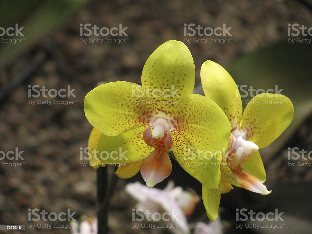 yellow orchid flowers close up stock photo