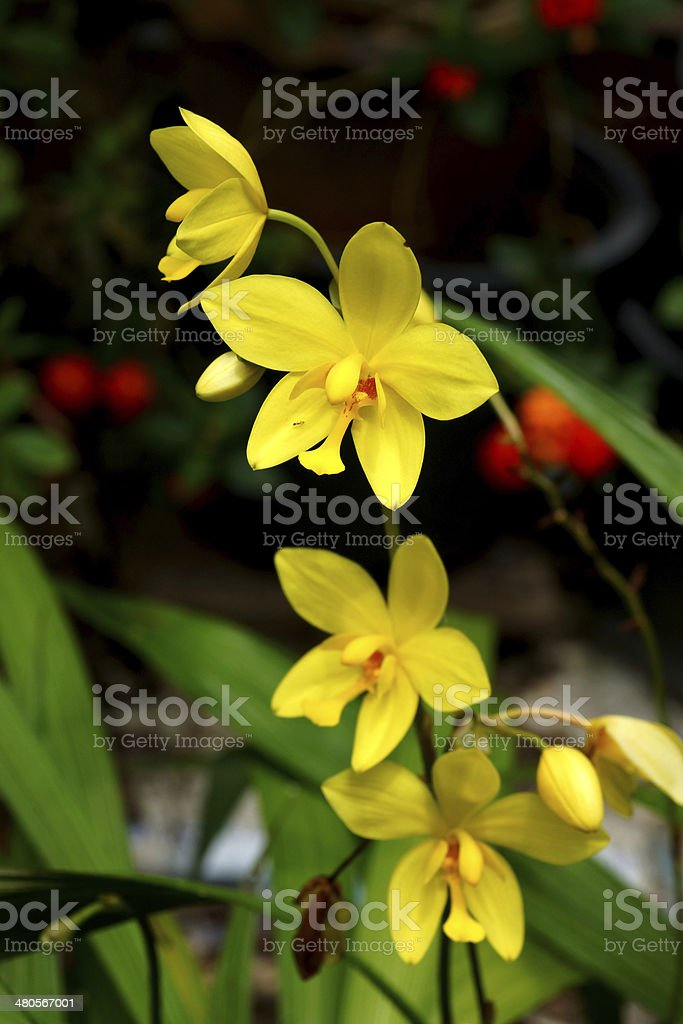 Yellow orchid flowers in the tropical rain forest. royalty-free stock photo