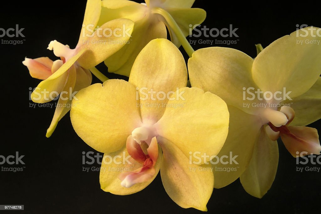 yellow orchid flowers stock photo
