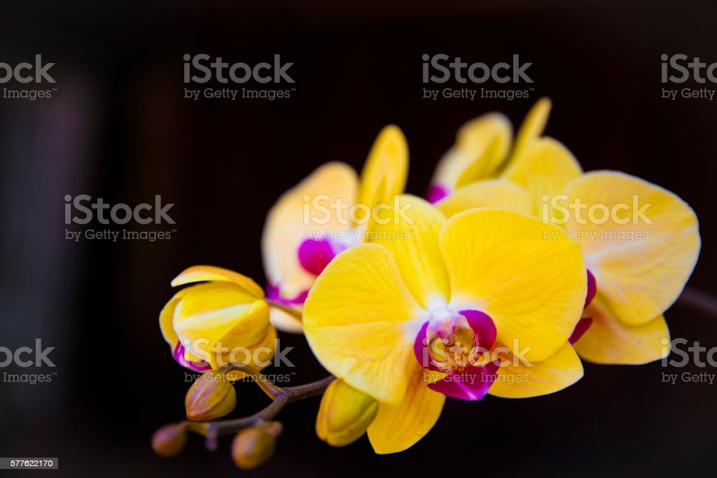 Yellow orchid on a black background stock photo