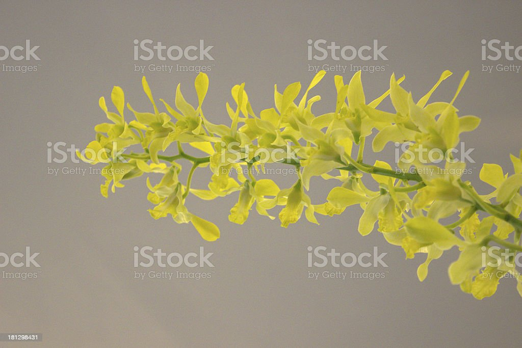 Yellow orchid. royalty-free stock photo