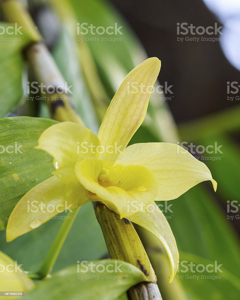 Yellow orchid royalty-free stock photo