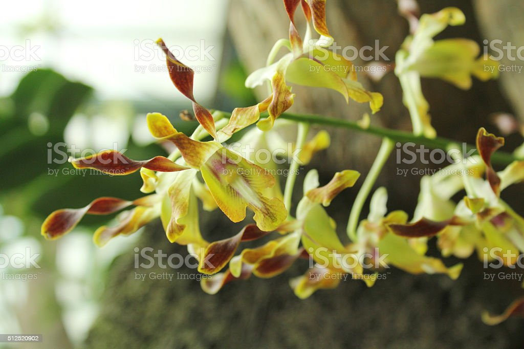 Yellow Orchid stock photo