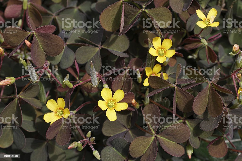 Yellow wildflower Oxalis corniculata wood-sorrel false shamrock stock photo