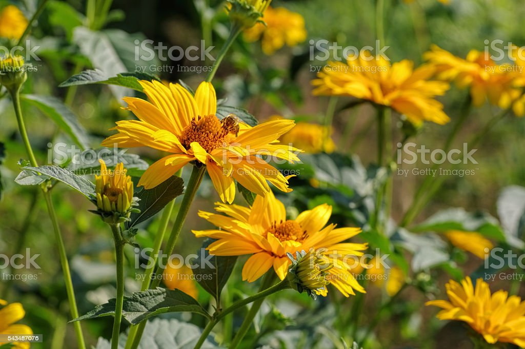 yellow oxeye daisy flower stock photo