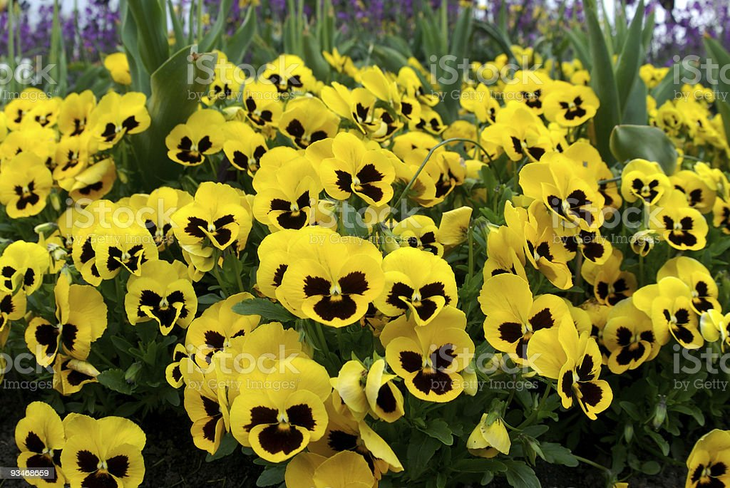 Yellow pansies in flower bed, wide angle stock photo