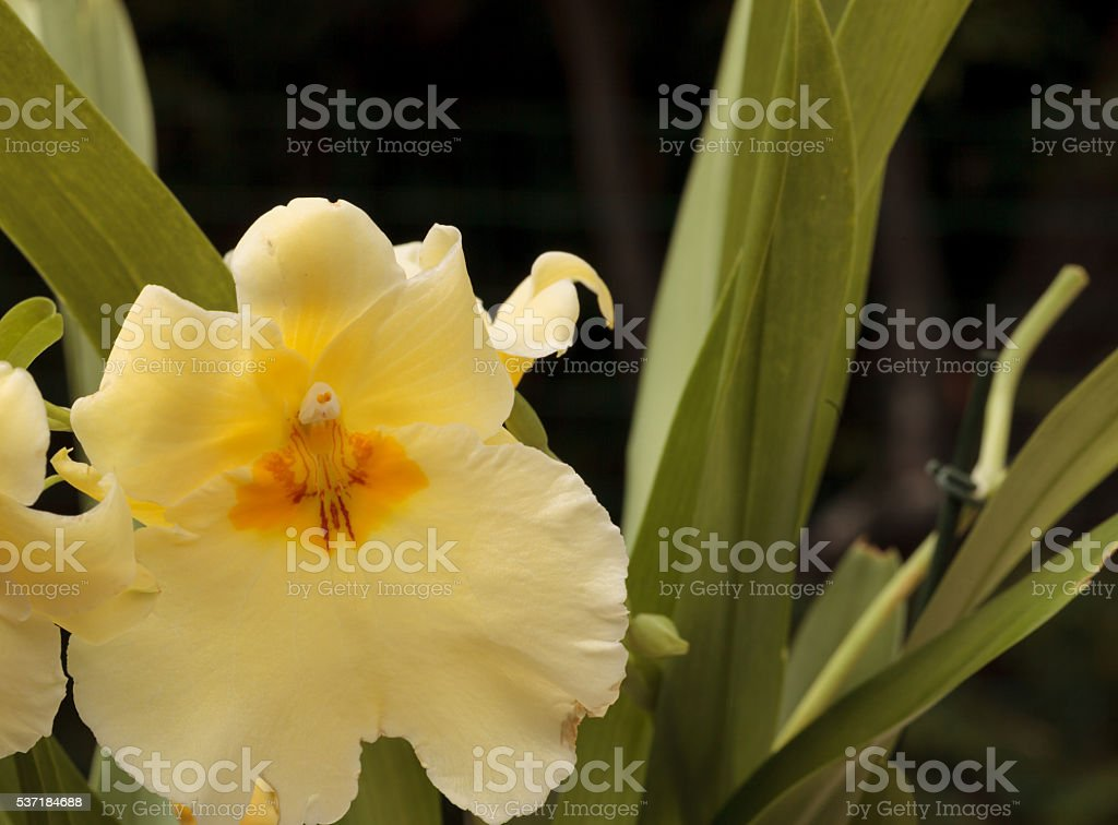 Yellow pansy orchid Miltoniopsis stock photo