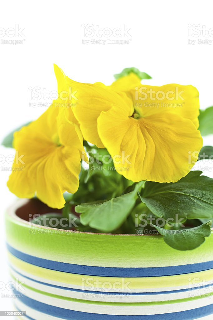 yellow pansy's sprout in ceramic pot stock photo