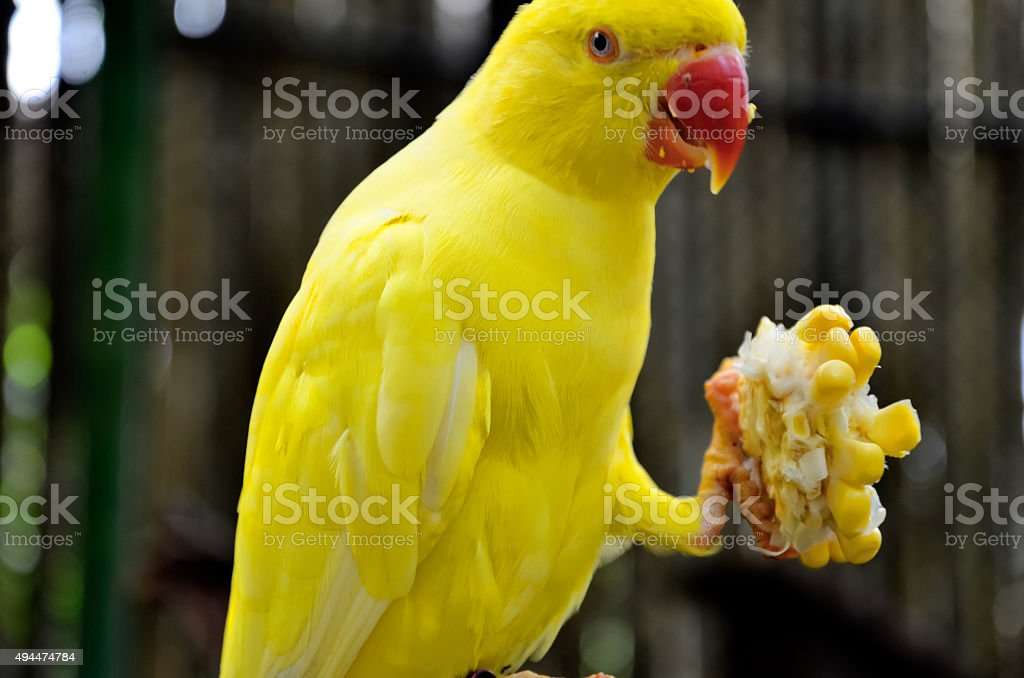 Yellow parrot stock photo
