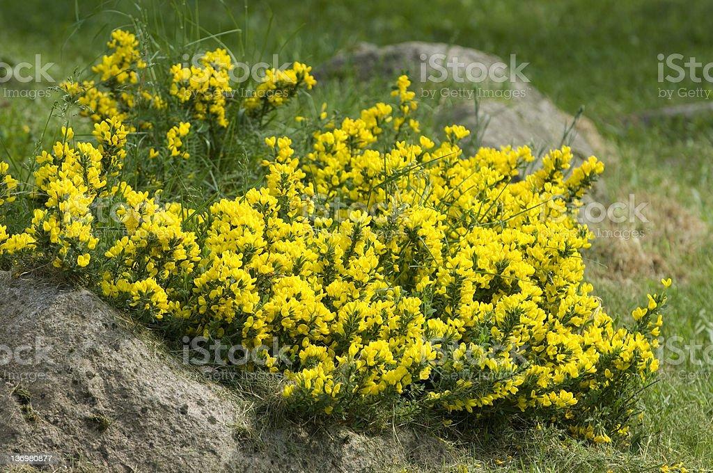 Yellow pea bush stock photo