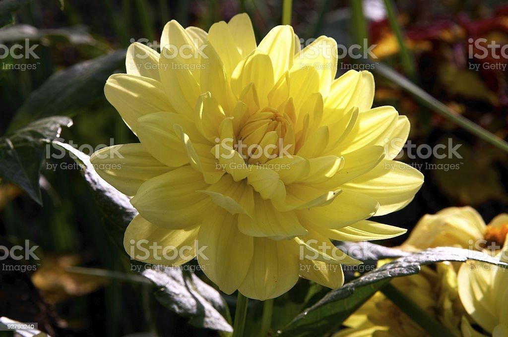 Yellow peony flower stock photo
