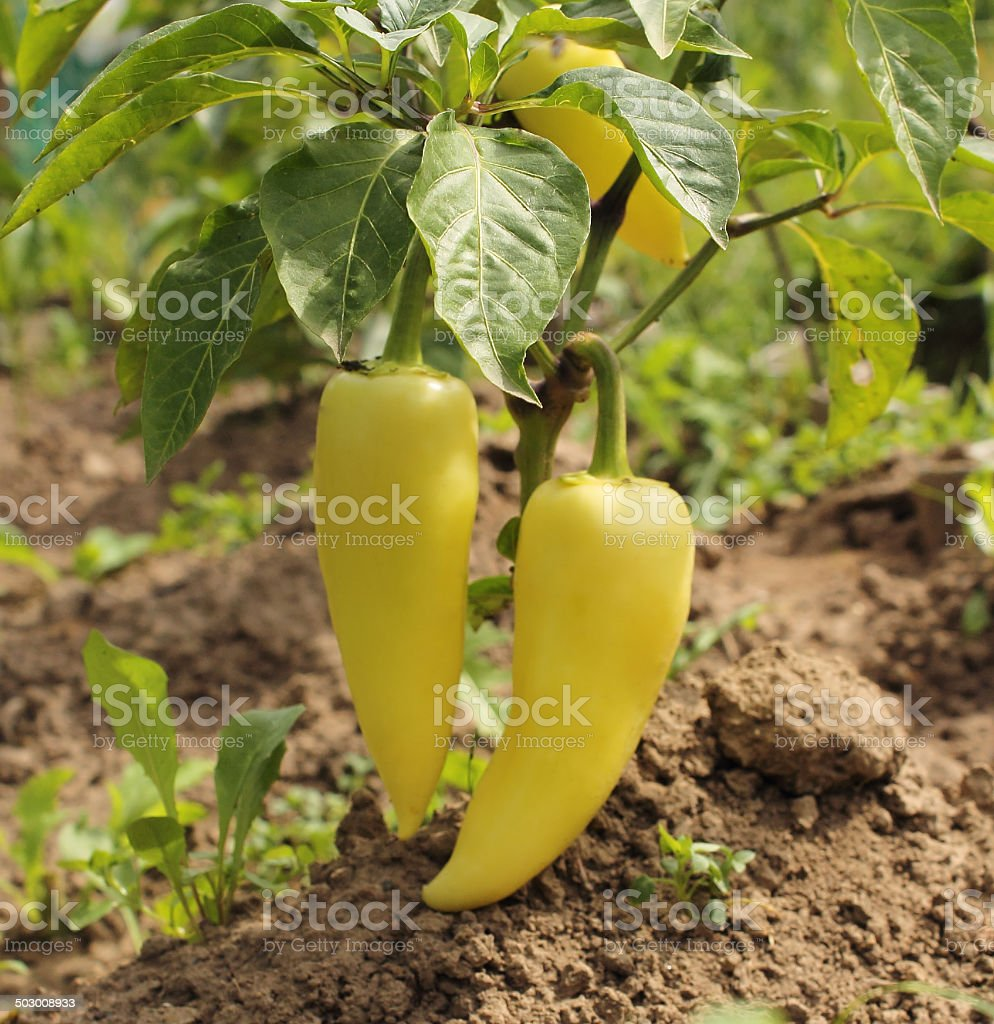 yellow pepper dirt. stock photo