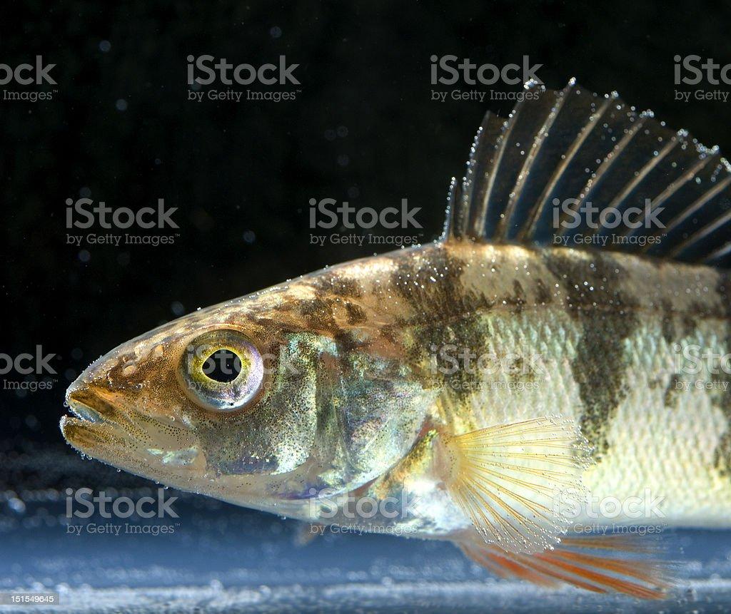 Yellow perch profile royalty-free stock photo
