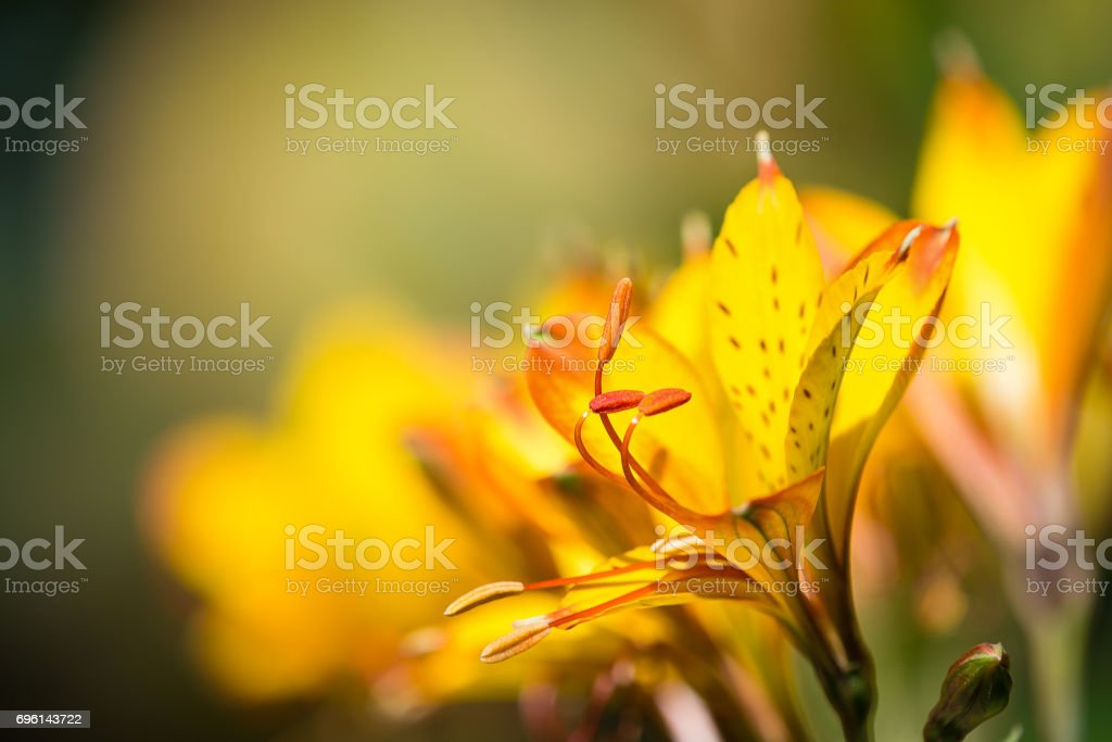 Yellow Peruvian Lily stock photo