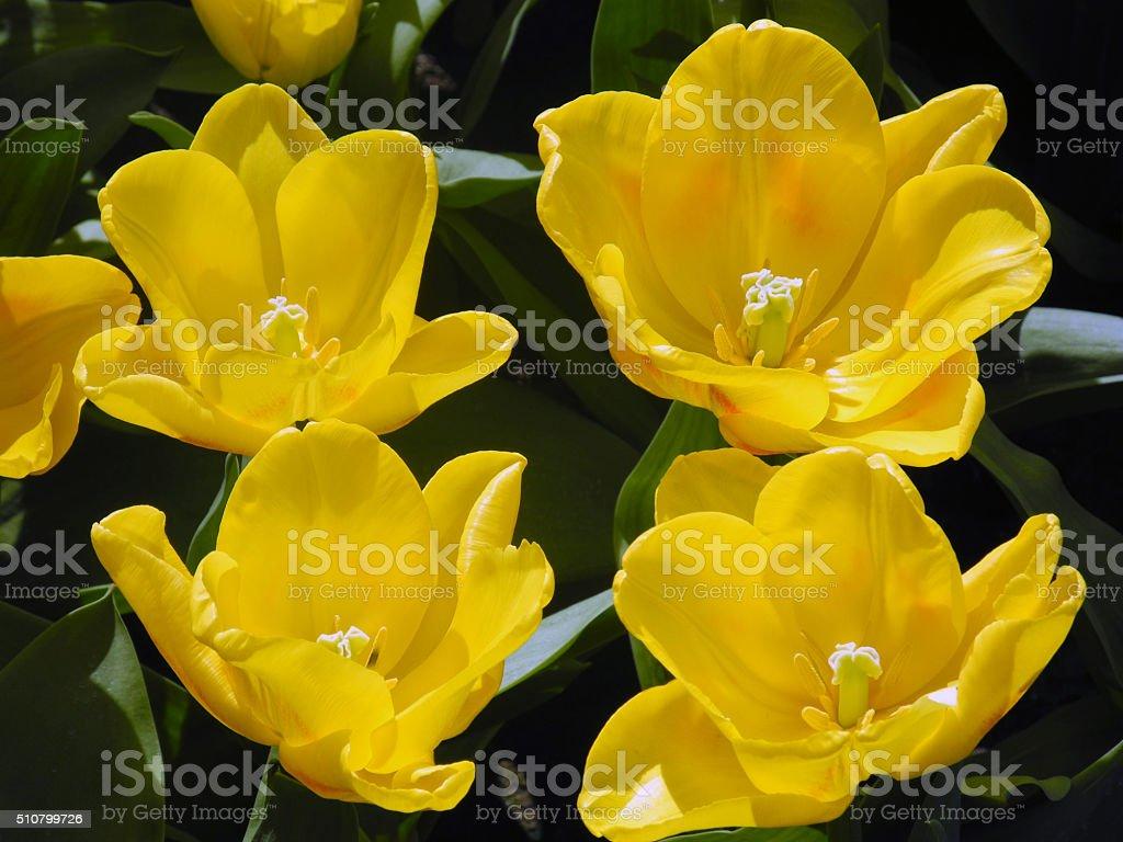 yellow petals flowers closeup tulip blossom stock photo