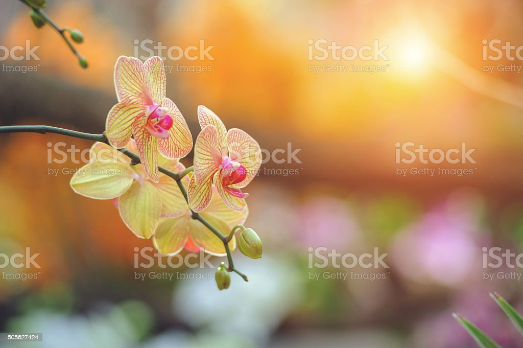 Yellow Phalaenopsis orchid stock photo