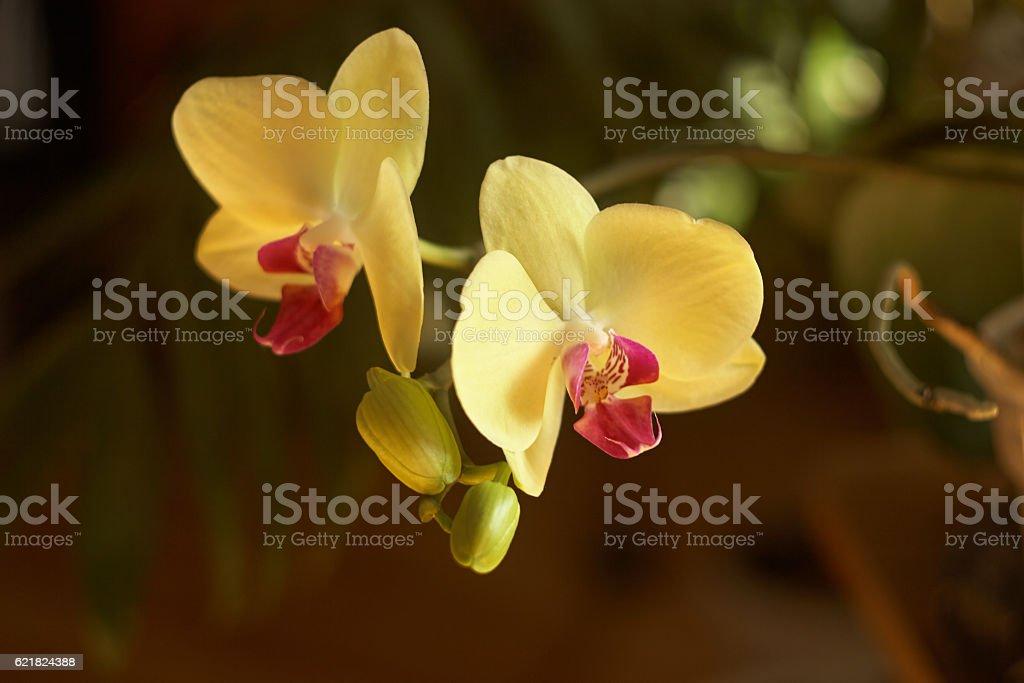 yellow phalaenopsis stock photo