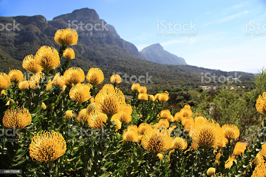 Yellow pincushions stock photo