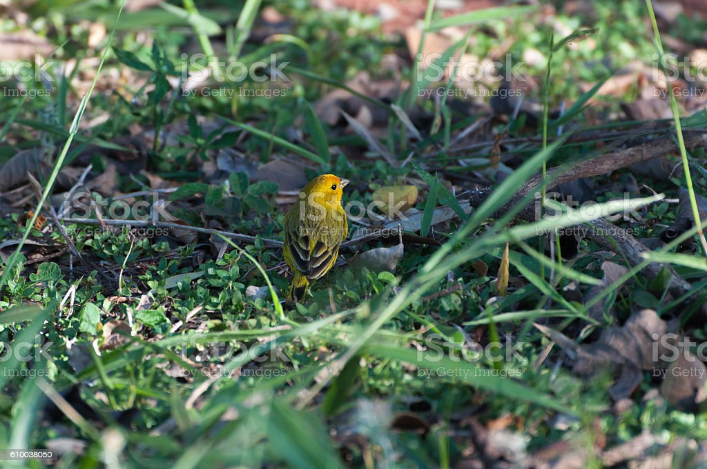 Yellow Pine Warbler bird landed on a green grass. stock photo