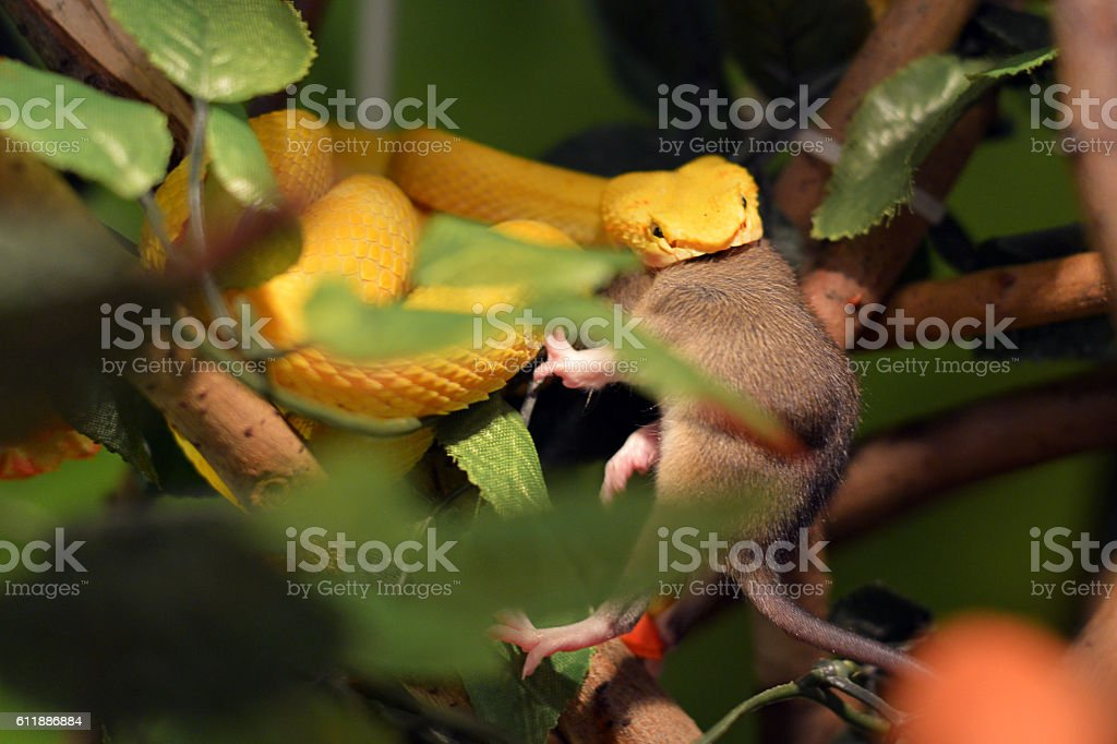Yellow pit viper feeding with mouse stock photo