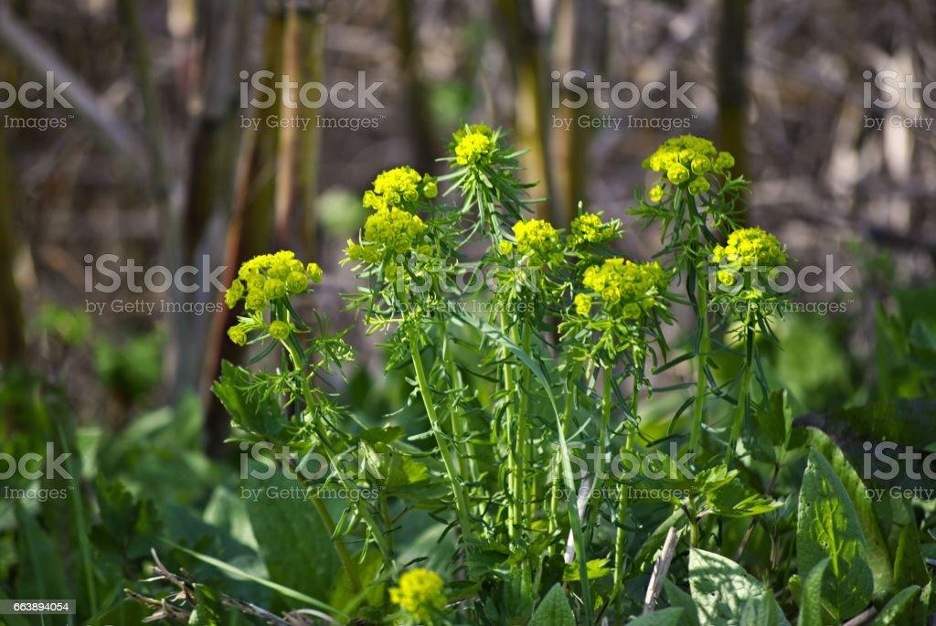 yellow plant Euphorbia stock photo