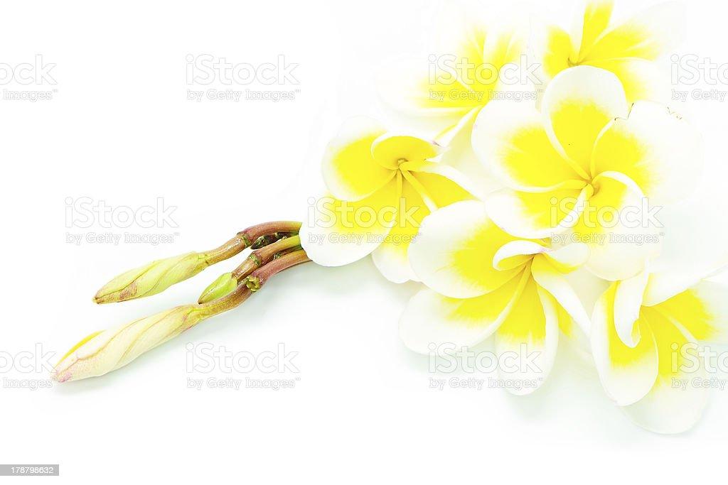 yellow Plumeria royalty-free stock photo