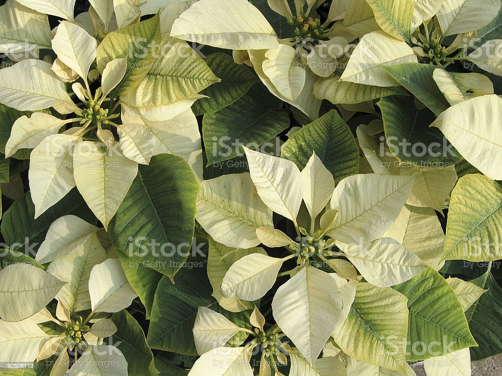 Yellow poinsettia background royalty-free stock photo